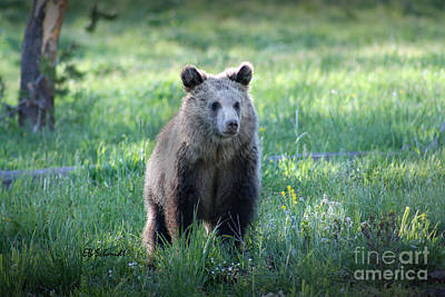 Photograph - Grizzly Bear Cub by E B Schmidt