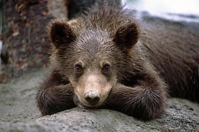 Sleepy Head Photograph - Grizzly Bear Cub Laying On Ground by Doug Lindstrand