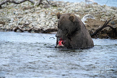 Brown Bear Eating Salmon Art Print by Dan Friend