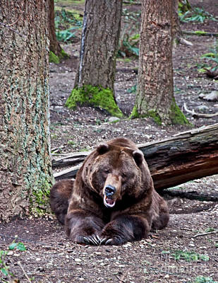 Photograph - Grizzly Bear Growling In Forest by Valerie Garner