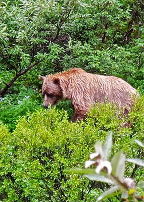 Photograph - Grizzly Bear In Denali National Park by Kirsten Giving