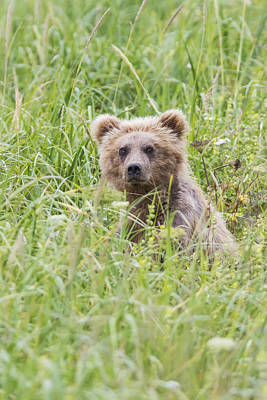 Grizzly Photograph - Grizzly Bear In Sedge Grass Near by Lynn Wegener