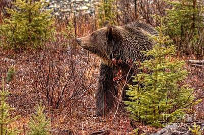 Fun Patterns - Grizzly Bear by James Anderson