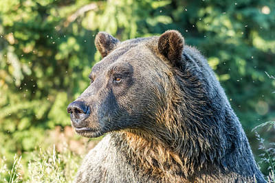 Photograph - Grizzly Bear by Pierre Leclerc Photography