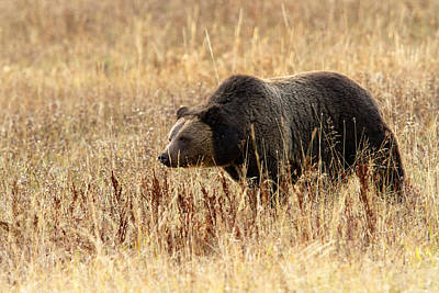 Photograph - Grizzly Bear Prowl... by Shari Sommerfeld