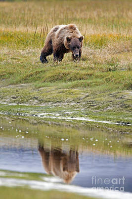 Queen Rights Managed Images - Grizzly Bear Reflection Lake Clark National Park Royalty-Free Image by Jason O Watson