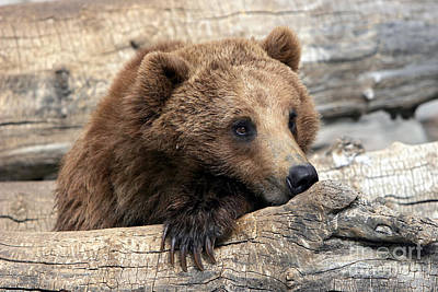 Photograph - Grizzly Bear Relaxation by Lincoln Rogers