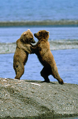 Photograph - Grizzly Bears Ursus Arctos Playing by Art Wolfe