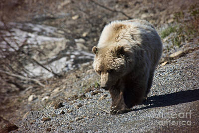 Thomas Kinkade Rights Managed Images - Grizzly by the Road Royalty-Free Image by David Arment