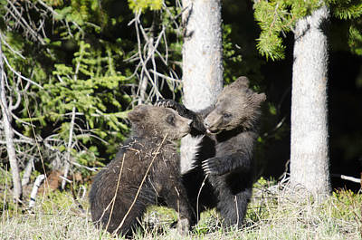 Crystal Wightman Rights Managed Images - Grizzly Cubs Playing Royalty-Free Image by Crystal Wightman