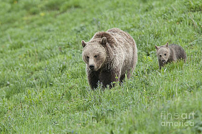 Grizzly Family On Dunraven Art Print by Bob Dowling