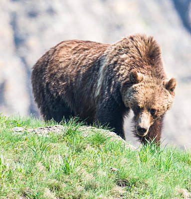 Photograph - Grizzly Grazing by Michael Gooch