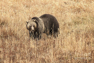 Grizzly In Autumn Meadow Art Print by Bob Dowling