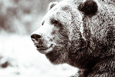 Art Print featuring the photograph Grizzly In Black And White by Wade Brooks