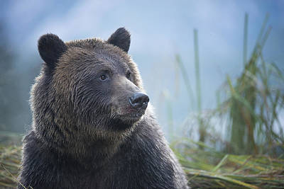 Photograph - Grizzly In Morning Light by Bill Cubitt