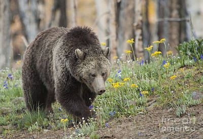 Grizzly In Spring Flowers Art Print by Bob Dowling