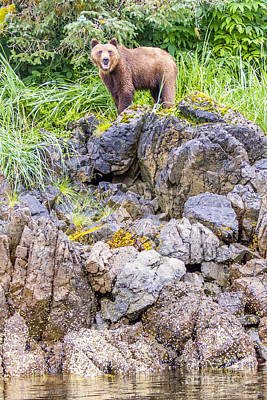 Fishing Photograph - Grizzly On A Small Bluff by Darcy Michaelchuk