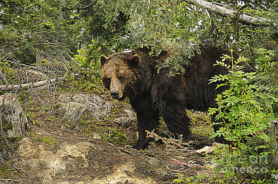 Photograph - Grizzly On The Prowl by Brenda Kean