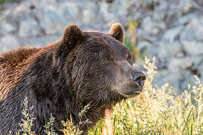 Photograph - Grizzly  by Pierre Leclerc Photography