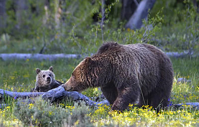Grizzly Sow And Cub Art Print