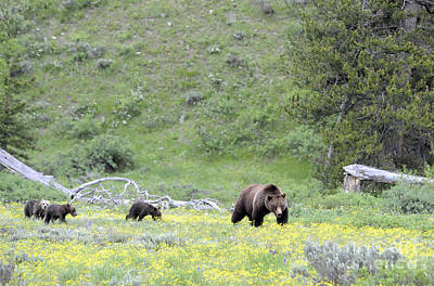 Photograph - Grizzly Sow And Three Cubs by Deby Dixon