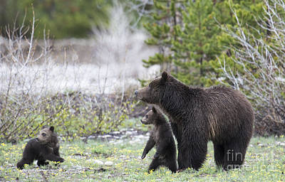 Photograph - Grizzly Sow And Two Cubs by Deby Dixon