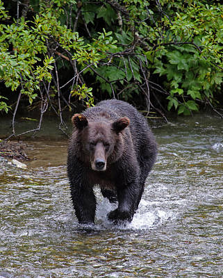 Photograph - Grizzly Sow Fishing by Jean Clark