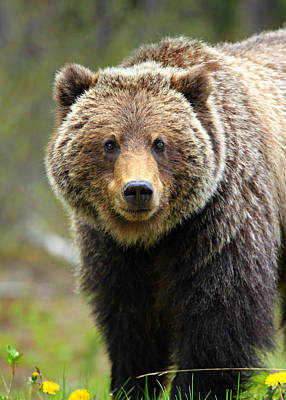 Animals Photos - Grizzly by Stephen Stookey