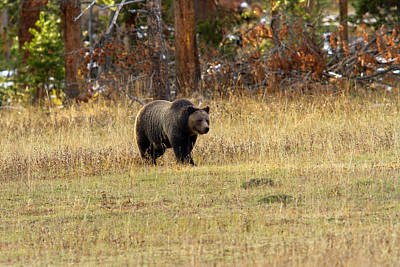 Photograph - Grizzly Stroll by Shari Sommerfeld