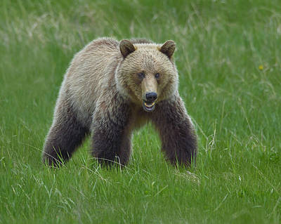 Grizzly Art Print by Tony Beck