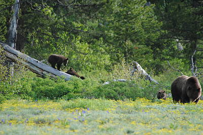 Photograph - Grizzly With Cubs by Robert  Moss