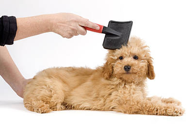 Pet Care Photograph - Grooming A Poodle by Jean-Michel Labat