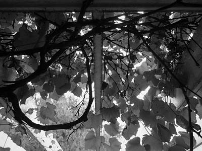 Photograph - Gropius Vine - Black And White by Joseph Skompski