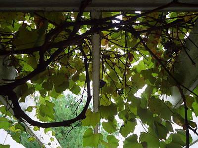 Photograph - Gropius Vine by Joseph Skompski