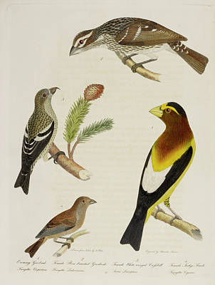 Crossbill Photograph - Grosbeak And Crossbill by British Library