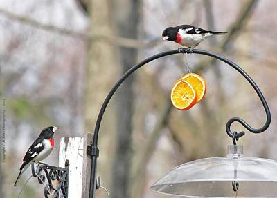 Photograph - Grosbeaks Of Spring by Al Fritz