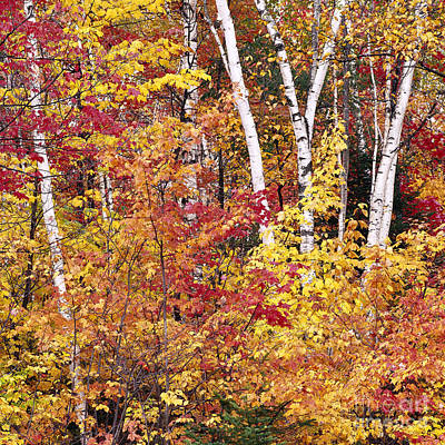 Photograph - Groton Forest Foliage by Alan L Graham