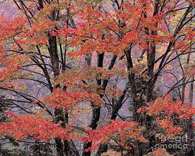 Photograph - Groton Forest Maples by Alan L Graham