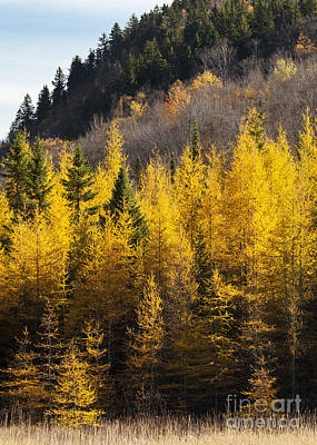 Photograph - Groton Forest Tamaracks by Alan L Graham