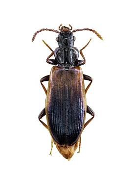 Cut Out Photograph - Ground Beetle by F. Martinez Clavel