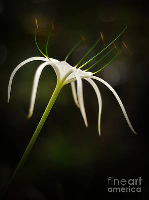 White spider flower photograph by tran minh quan white spider flower art print by tran minh quan mightylinksfo