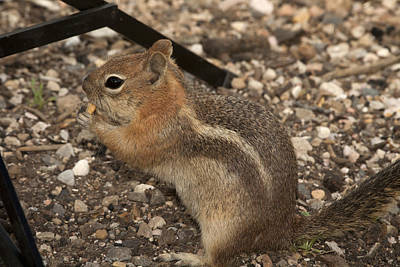 Ground Squirrel Invading My Studio Art Print by Gregory Scott