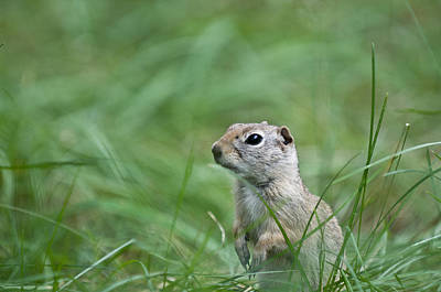 Photograph - Ground Squirrel by Tyson and Kathy Smith