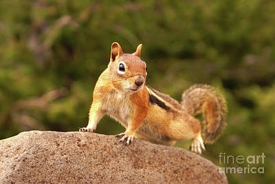 Photograph - Ground Squirrel by Kelly Black