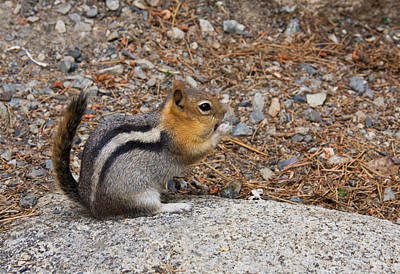 Photograph - Ground Squirrel by Melinda Fawver