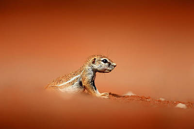 Royalty-Free and Rights-Managed Images - Ground squirrel on red desert sand by Johan Swanepoel