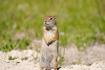 Photograph - Ground Squirrel by Robert  Moss