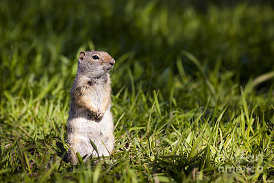 Ground Squirrel Standing In Grass Art Print by Mike Cavaroc