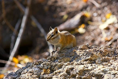 Steven Krull Royalty-Free and Rights-Managed Images - Ground Squirrel by Steven Krull