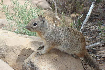Photograph - Ground Squirrel by Susan Woodward